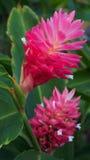 ÖHawaii för natur blom- tropiska rosa färger Ginger Lily Arkivbilder