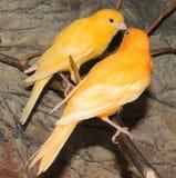 Ökanariefågelfågel Arkivfoton
