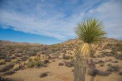 Öken av Joshua Tree National Park, Kalifornien med träd Arkivbild