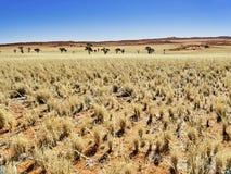 Öken av namib med orange dyn Arkivbilder