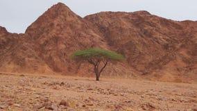 Öken i Egypten, gröna träd, sand och berg arkivfilmer