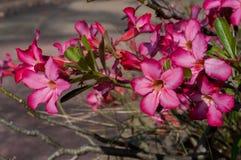 Öken Rose Flowers, impalalilja Arkivfoto