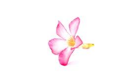 Öken Rose Flowers, vit bakgrund Fotografering för Bildbyråer