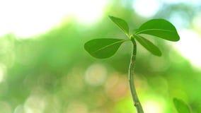 Öken Rose Plant Video stock video