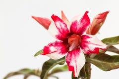 Öken Rose Red och vit Arkivbild