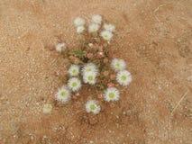 Ökenblomman med vita rosor verkar som i regnig säsong royaltyfri fotografi
