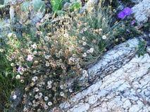 Ökenblommor, blommor växer ut ur vaggar Arkivbilder