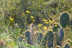 Ökenblommor och kaktus Fotografering för Bildbyråer