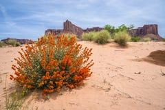 Ökenblommor och myrakullar near vita Rim Road Moab Utah Arkivbild