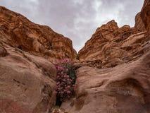 Ökenblommor växer i sprickorna av klipporna Arkivbilder