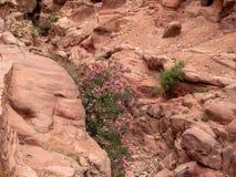 Ökenblommor växer i sprickorna av klipporna Royaltyfri Foto