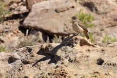 Ökenfågel med Thunderbird drömmar Fotografering för Bildbyråer