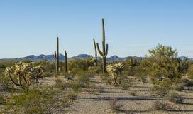 Ökenflora i Sonoran den nationella monumentet Fotografering för Bildbyråer