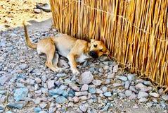 Ökenhunden Royaltyfria Bilder