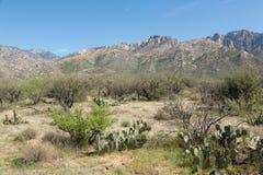 Ökenkakturs i Arizona Royaltyfria Foton