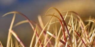 Ökenkaktusgrova spikar Arkivfoto