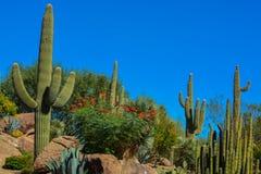 Ökenkaktuslandskap i Arizona royaltyfri fotografi