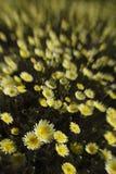 Ökenmaskrosabstrakt begrepp i Joshua Tree National Park, Kalifornien royaltyfri foto