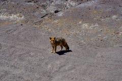 Ökenrävprärievarg Altiplano Bolivia Royaltyfri Fotografi