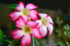 Ökenrosa färgros Royaltyfria Bilder
