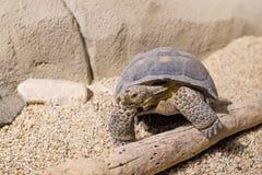Ökensköldpadda Arkivfoton