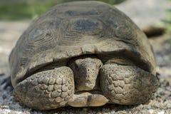 Ökensköldpadda som ut döljer & från inre kikar hans Shell Arkivbild