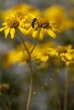 Ökensolros, Geraea canescens Royaltyfri Fotografi