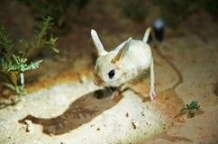 Ökenspringråtta/Jaculus Ökenspringråttan är ett stäppdjur och leder ett nattligt liv fotografering för bildbyråer