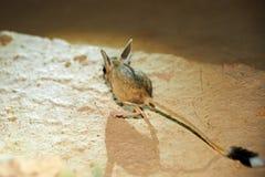 Ökenspringråtta/Jaculus Ökenspringråttan är ett stäppdjur och leder ett nattligt liv royaltyfria foton