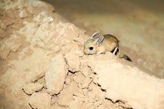 Ökenspringråtta/Jaculus Ökenspringråttan är ett stäppdjur och leder ett nattligt liv arkivfoton