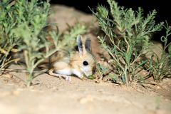 Ökenspringråtta/Jaculus Ökenspringråttan är ett stäppdjur och leder ett nattligt liv royaltyfri bild