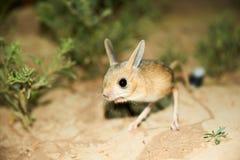 Ökenspringråtta/Jaculus Ökenspringråttan är ett stäppdjur och leder ett nattligt liv arkivbilder