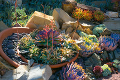 Ökenträdgård med suckulenter Royaltyfria Bilder