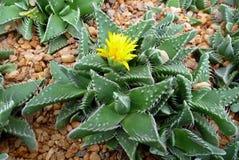 Ökenväxt med blomman Arkivfoton