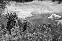 Ökenväxter och annalkande storm Arkivbilder