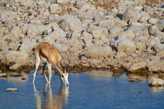 Öknar och natur för springbock afrikanska däggdjurs- i nationalparker arkivbilder