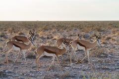 Öknar och natur för springbock afrikanska däggdjurs- i nationalparker royaltyfria bilder