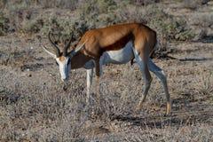 Öknar och natur för springbock afrikanska däggdjurs- i nationalparker royaltyfri fotografi