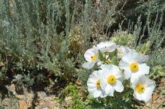 Öknen blommar den taggiga vallmo Arkivbilder