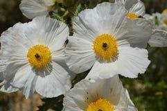Öknen blommar den taggiga vallmo Arkivfoto