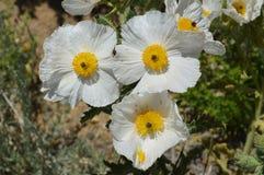 Öknen blommar den taggiga vallmo Arkivbild