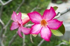 Öknen för adeniumen för den härliga blom- blomman för bakgrund tropiska steg den rosa Royaltyfria Bilder