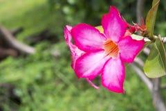 Öknen för adeniumen för den härliga blom- blomman för bakgrund tropiska steg den rosa Arkivbilder
