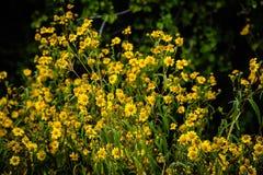 Öknen gula Fleabane blommar i svart kanjonnationalpark arkivbild