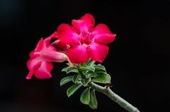 Öknen steg, impalaliljan, falsk azalea. Arkivfoton