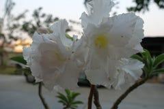 Öknen steg, impalaliljan, falsk azalea royaltyfria foton