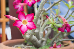 Öknen steg, impalaliljan, falsk azalea som rosa färger blommar Arkivfoto