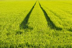 Ökologierichtungs-Weisenkonzept Grünes Weizenfeld Straße auf einem grünen Gebiet des Weizens lizenzfreies stockbild