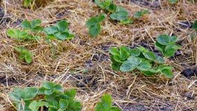 Ökologisch reine Produktion von Erdbeeren stockbilder