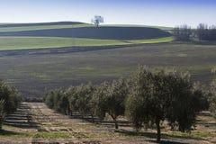 Ökologische Bearbeitung von Olivenbäumen Lizenzfreie Stockfotografie